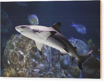 The Grey Reef Shark - Carcharhinus Amblyrhynchos Wood Print by Goyo Ambrosio