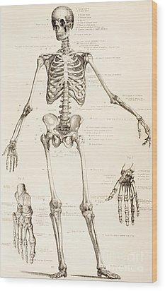 The Human Skeleton Wood Print by English School