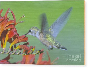 The Humming Bird Sips  Wood Print by Jeff Swan