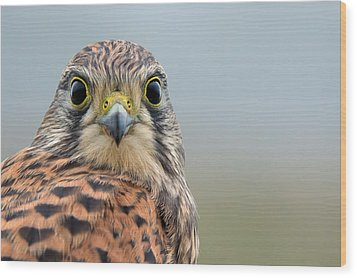 The Kestrel Face To Face Wood Print