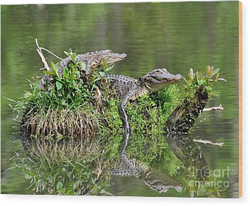 Wood Print featuring the photograph The Lazy Gators by Kathy Baccari
