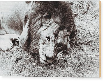 Wood Print featuring the photograph The Lion Sleeps Tonight by Wade Brooks