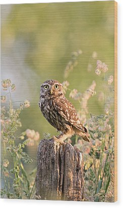 The Little Owl Wood Print