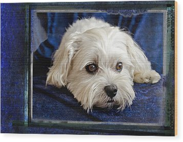 The Maltipoo Bailey On A Blue Background Wood Print by Harold Bonacquist