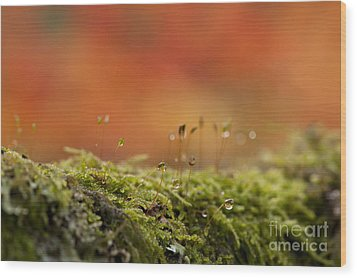 The Miniature World Of Moss  Wood Print by Anne Gilbert