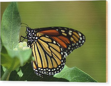 The Monarch Wood Print by Camille Lopez