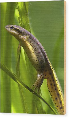 The Other Newt Wood Print by Gene Walls