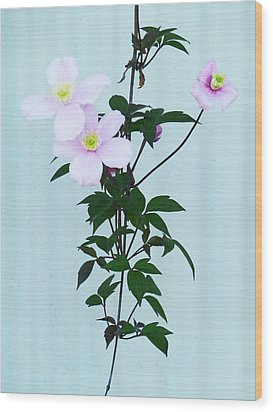 The Pink Clematis Wood Print by Steve Taylor
