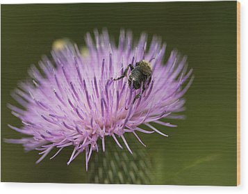 The Pollinator - Bee On Thistle  Wood Print by Jane Eleanor Nicholas