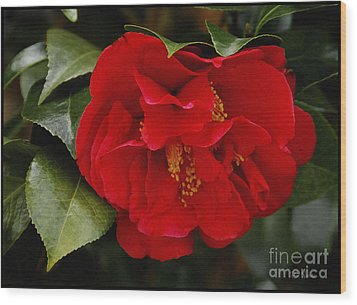The Red Camellia  Wood Print by James C Thomas