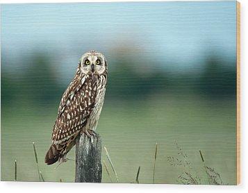 The Short-eared Owl  Wood Print