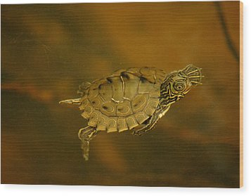 The Southeastern Map Turtle Wood Print