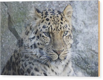 The Stare Of A Leopard Wood Print