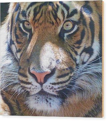 The Superb Sumatran Tiger Wood Print by Margaret Saheed