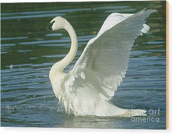 The Swan Rises  Wood Print by Jeff Swan