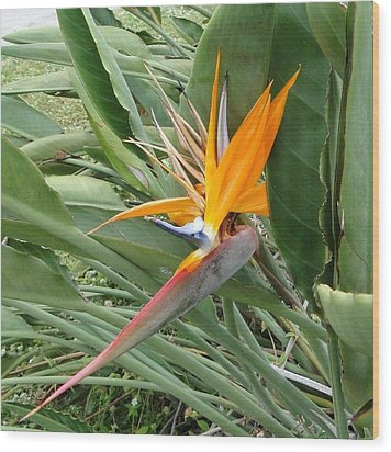 The Wilting Bird Of Paradise Wood Print
