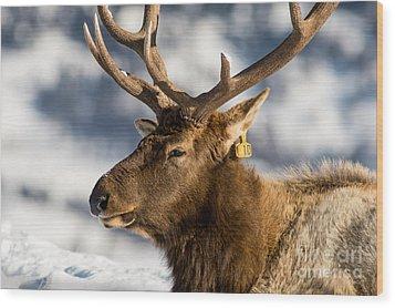 The Yellowstone Elk # 10 Wood Print