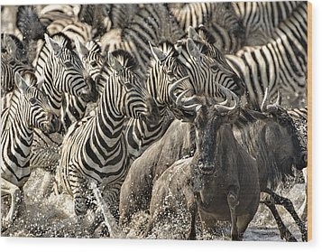The Zebra Rush Wood Print by Paul W Sharpe Aka Wizard of Wonders