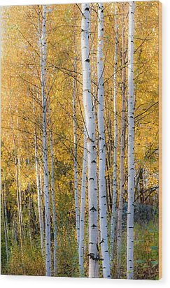Thin Birches Wood Print