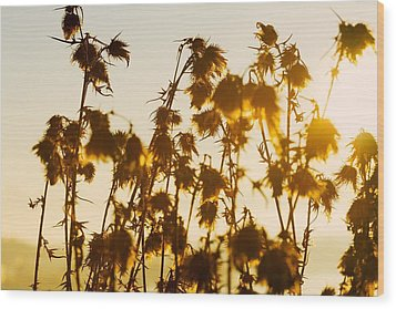 Thistles In The Sunset Wood Print by Chevy Fleet