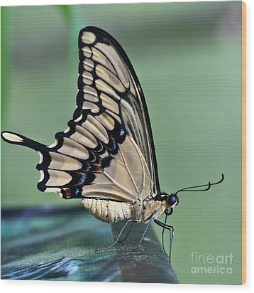 Thoas Swallowtail Butterfly Wood Print by Heiko Koehrer-Wagner