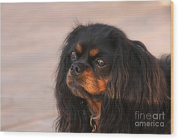 Thoughtful Cavalier Wood Print