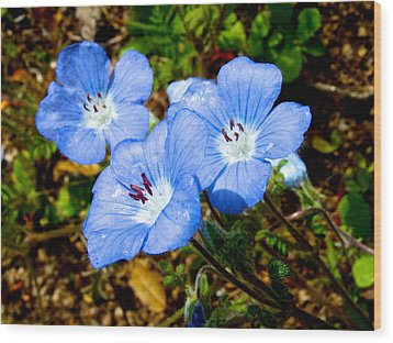 Three Baby Blue Eyes In Park Sierra-ca Wood Print by Ruth Hager