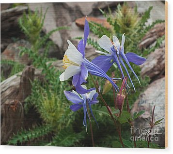 Three Columbine Wood Print