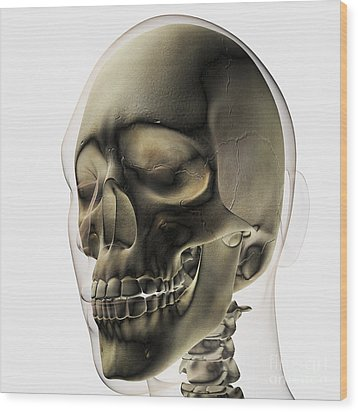 Three Dimensional View Of Human Skull Wood Print by Stocktrek Images