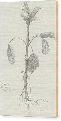 Three Herbs - Tricolor Sage Wood Print