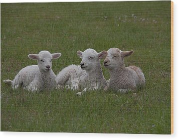 Three Lambs Wood Print by Richard Baker