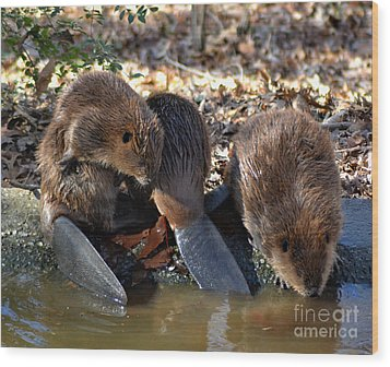 Three Little Beavers Wood Print