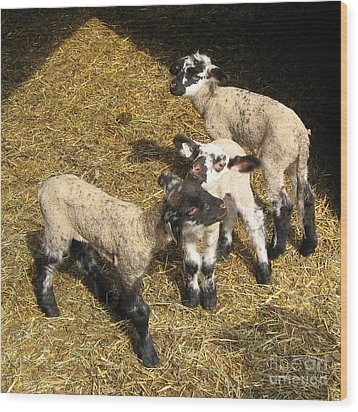 Three Little Lambs In Spring Sunshine Wood Print