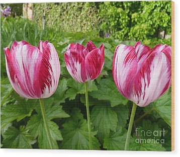 Three Pink Rembrandt Tulips Wood Print by Lingfai Leung