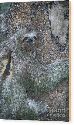 Three Toed Sloth Wood Print by Anne Rodkin