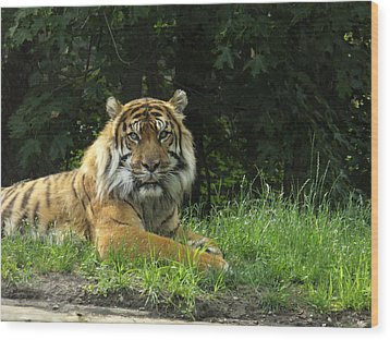 Wood Print featuring the photograph Tiger At Rest by Lingfai Leung