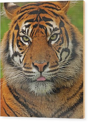 Tiger Eyes Wood Print by Paul Scoullar