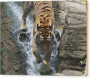 Tiger In The Waterfall Wood Print by Adam L