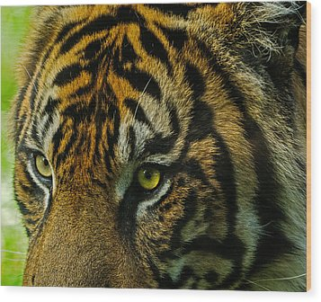 Wood Print featuring the photograph Tiger by John Johnson