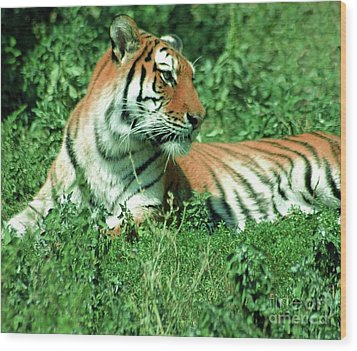 Tiger Wood Print by Kathleen Struckle