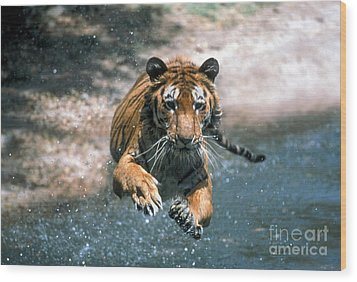 Tiger Leaping Wood Print by Mark Newman