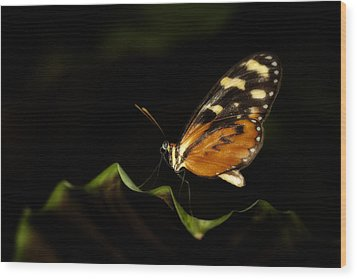 Wood Print featuring the photograph Tiger Monarch Butterfly by Zoe Ferrie