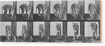 Tiger Pacing Wood Print by Eadweard Muybridge