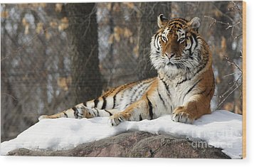 Tiger Relaxing Snow Cover Rock Wood Print