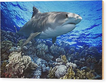 Tiger Shark Galeocerdo Cuvier Wood Print by Owen Bell