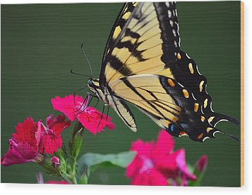 Tiger Swallowtail Butterfly Wood Print by Kathy Eickenberg