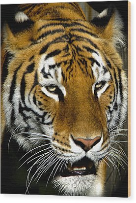 Tiger Tiger Burning Bright Wood Print by Venetia Featherstone-Witty