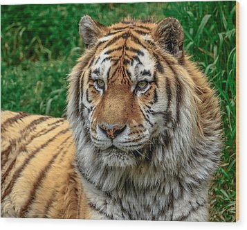 Tiger Tiger Wood Print by Yeates Photography