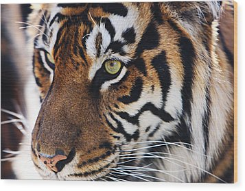 Tigress Three Wood Print