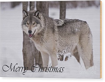Timber Wolf Christmas Card English 3 Wood Print